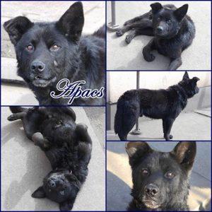 apacs-dog-adoption