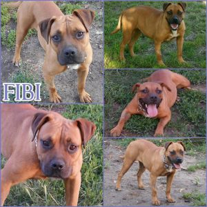 fibi-dog-adoption