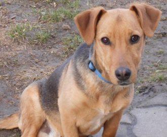 Örökbefogadható kutyák - Odie - Hajdúszoboszlói Kutyabarátok Egyesület